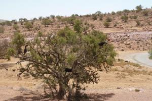 K1024_Geiss auf Baum