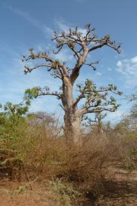 K1024_Baobab (4)