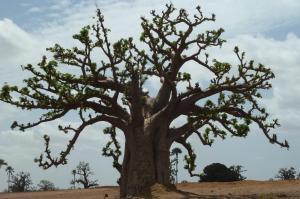 K1024_Baobab (5)