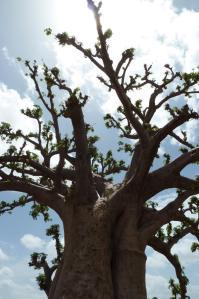 K1024_Baobab (7)