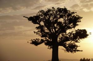 K1024_Baobab Morgen