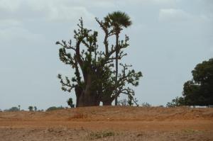 K1024_Baobab und Palme