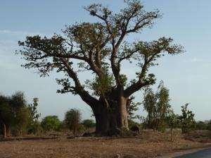 K1024_Baobab