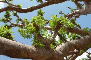 K1024_Baobabast
