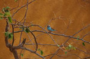 K1024_Blauer Vogel gelbe Wand
