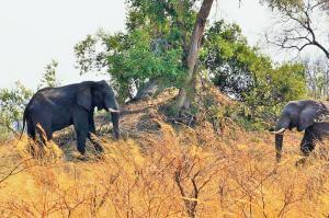 K1024_Elefant am Termitenhügel