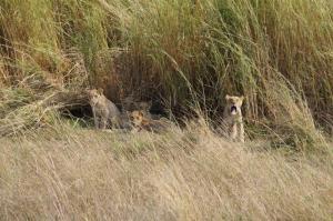 K1024_Löwenfamilie