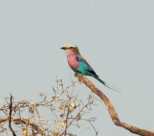 K1024_Siebenfarbenvogel