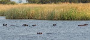 K1024_Viele Hippos