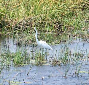 K1024_Weisser Wasservogel