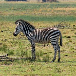 K1024_Zebra2