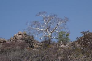K1024_Weisser Baum